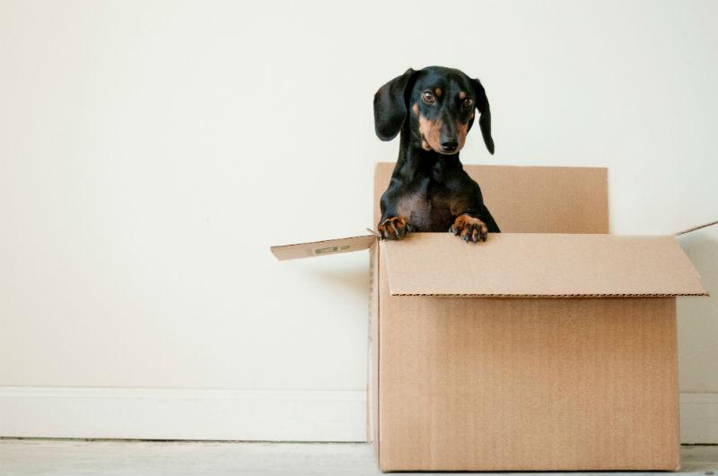 Dachshund dog in moving box