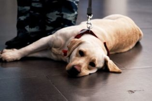 How to Certify Your Animal for Emotional Support Therapy #emotional support therapy