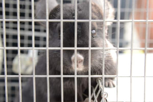 PETA Saves Chinchillas! #AdoptOneToday